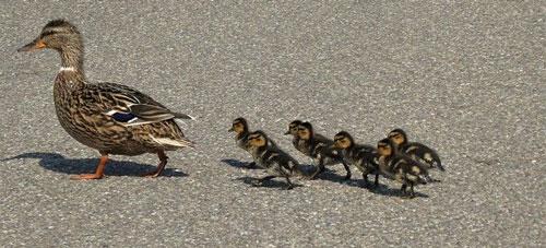 Famille de canard sur le périphérique